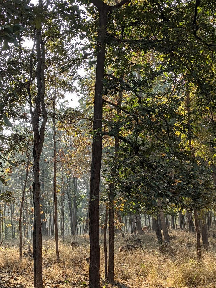 That time we spotted 5 leopards on a cold winter morning in Pench.
